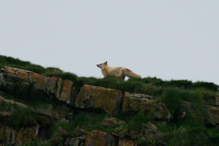 A fox walking along a cliff.
