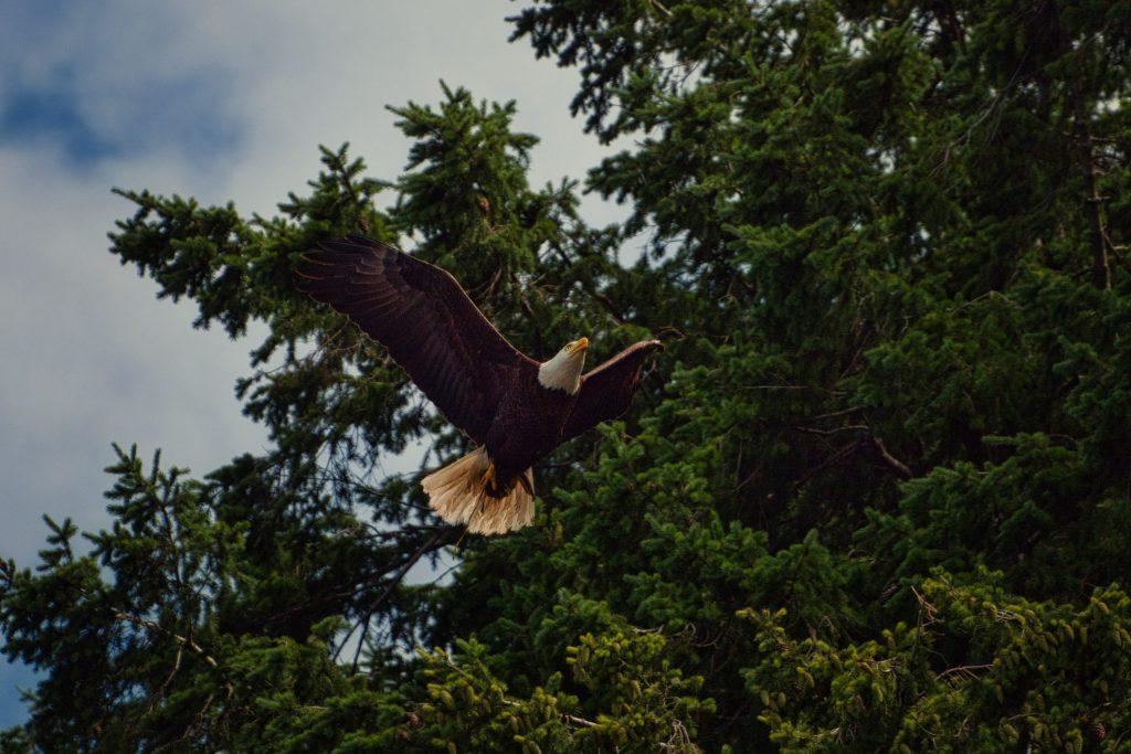 Bald eagle flying overhead.